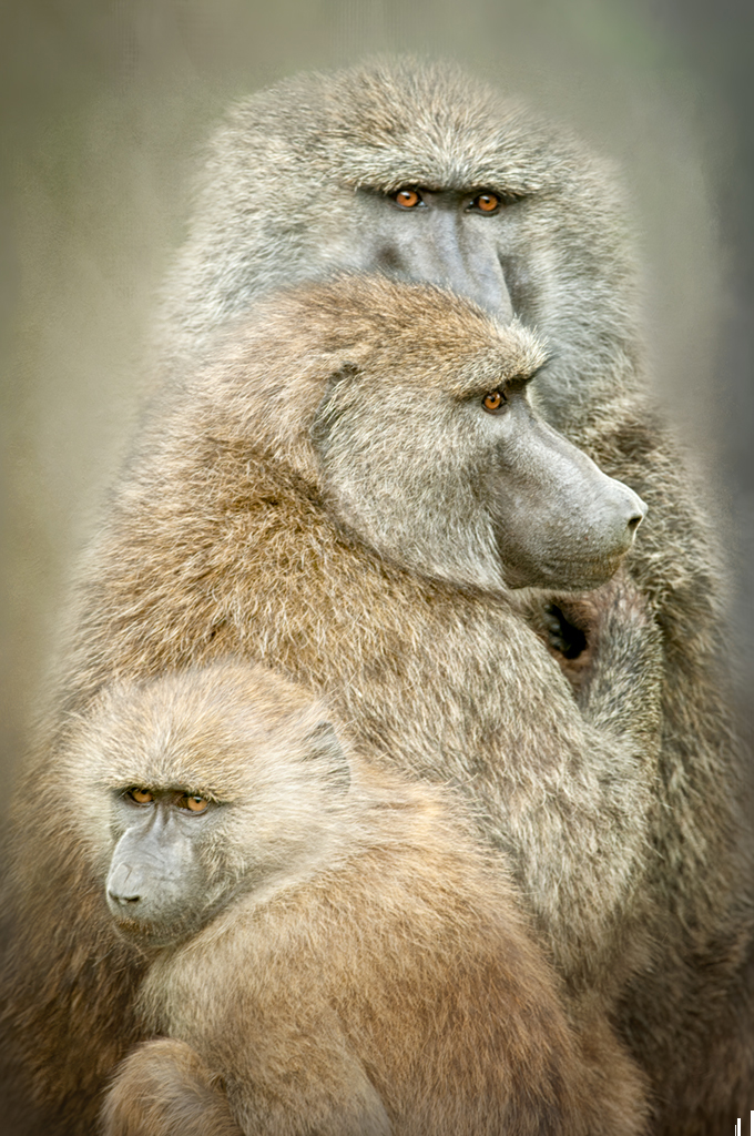 Three Baboons Huddle Together, image by Donna Eaton