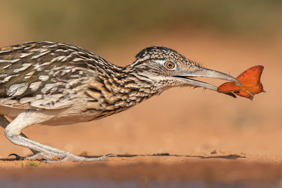 Greater Roadrunner Catching a Butterfly, image by Hector D. Astorga