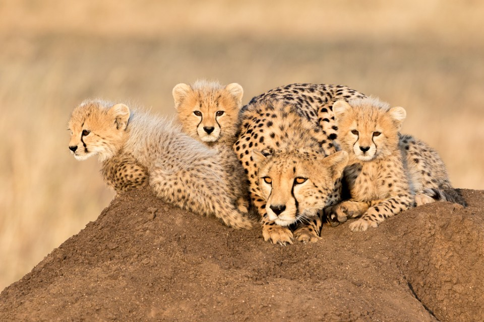 Mother Cheetah and Cubs Warming Themselves Atop a Termite Mound, image by James Heupel