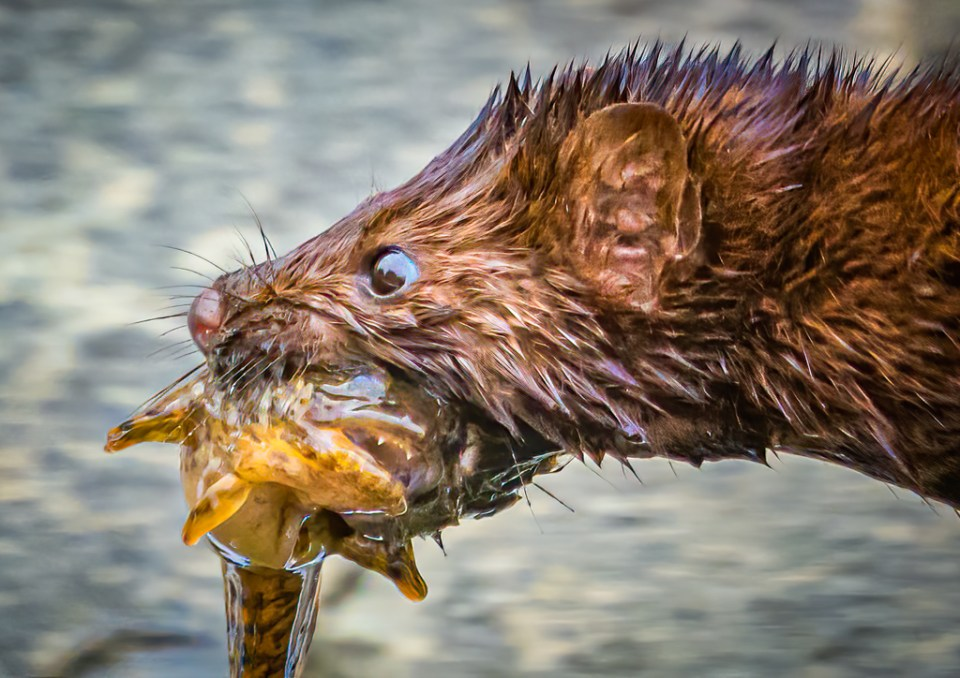 American Mink Mom Brings a Fish to Her Young, image by Jane Scott Norris