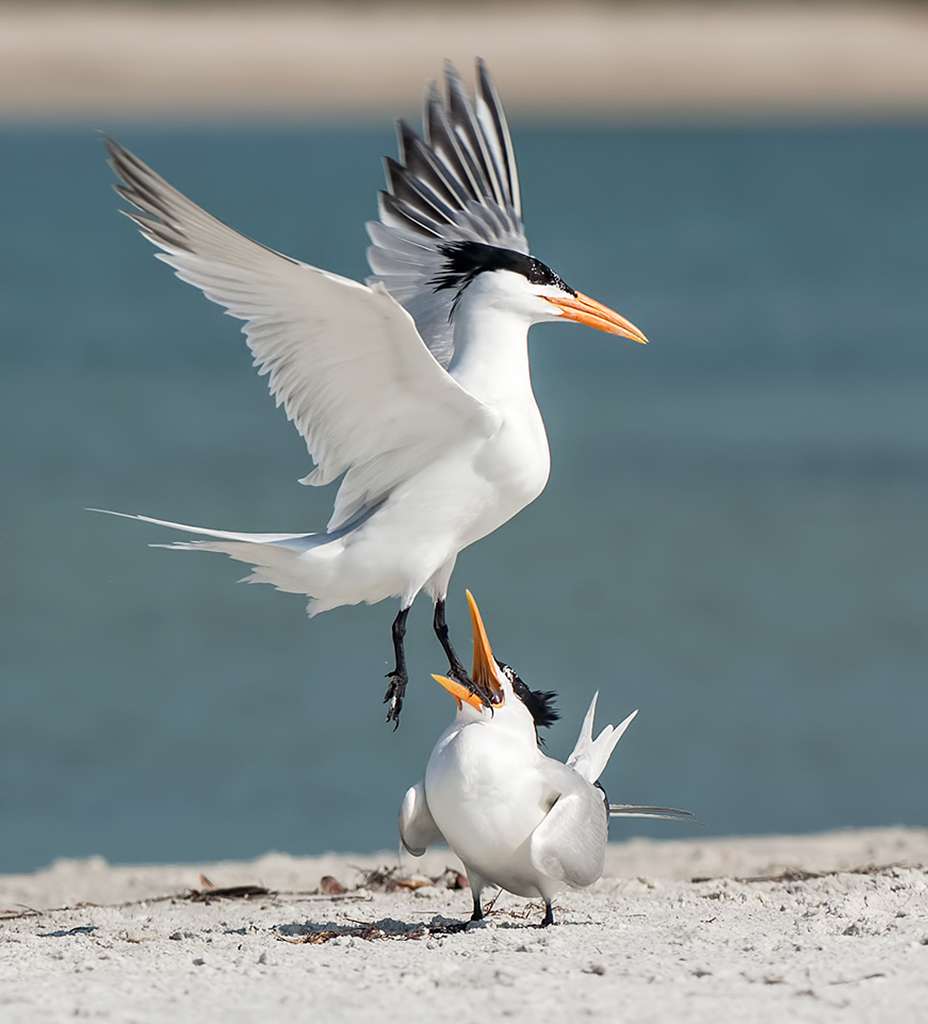 Royal Tern Lands in the Mouth of Another Royal Tern, image by Judylynn Malloch