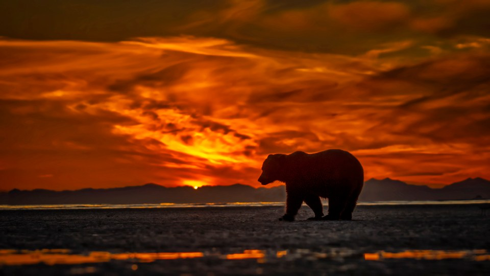 Brown Bear Walking Coastline at Sunset, image by Kevin Dooley