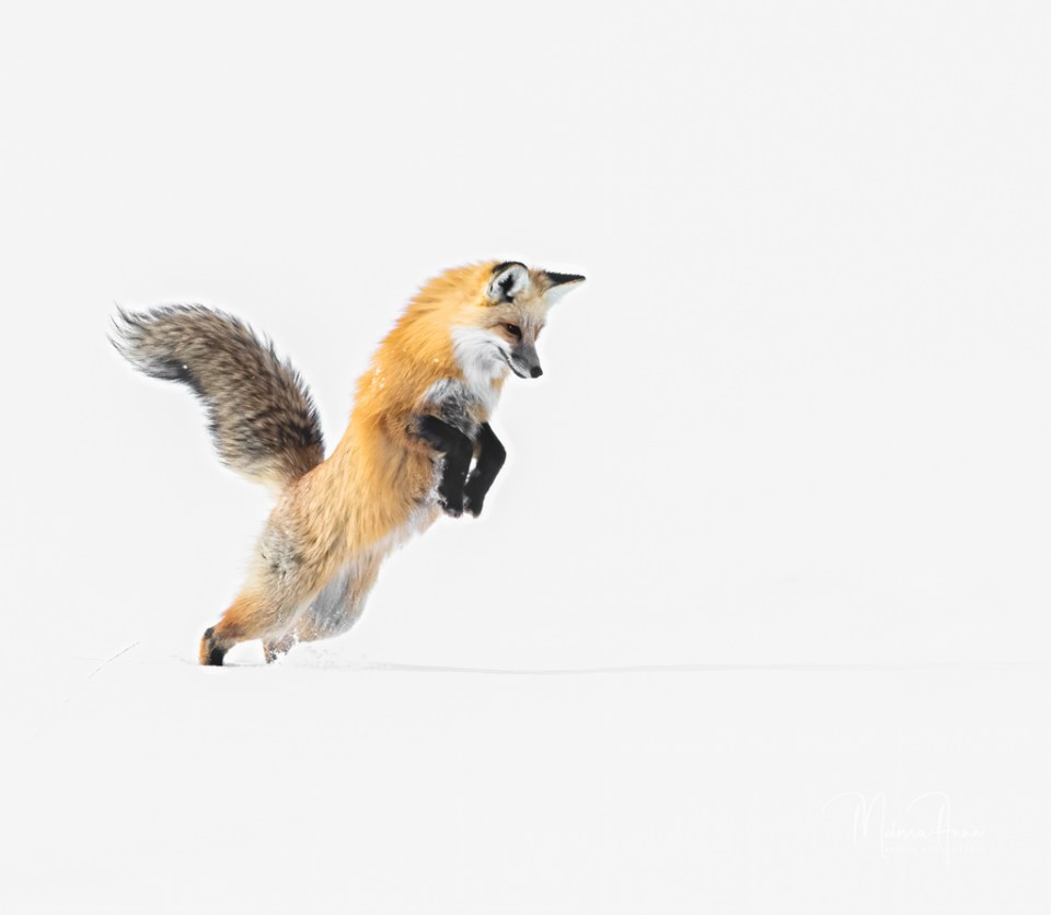 Red Fox on hind legs ready to pounce in snow, image by Melissa Anne Usrey