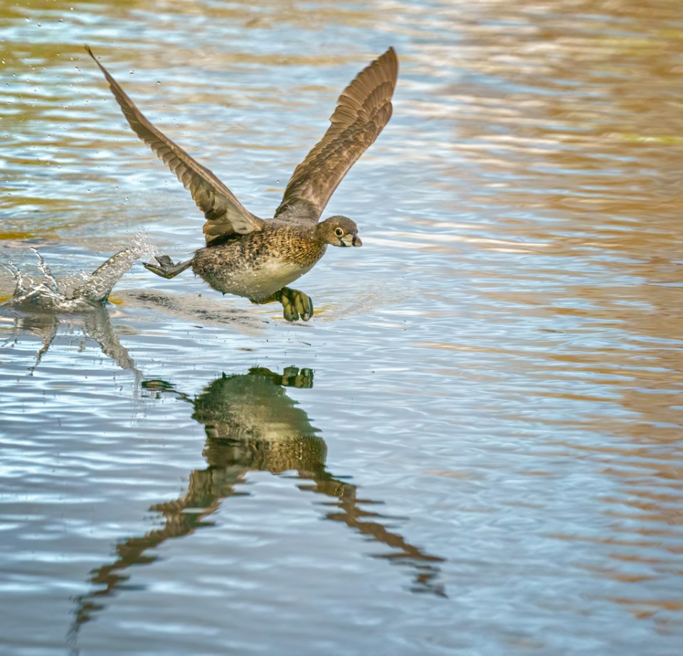 Pied-Billed Grebe on the Run in Water, image by Michael J Cohen