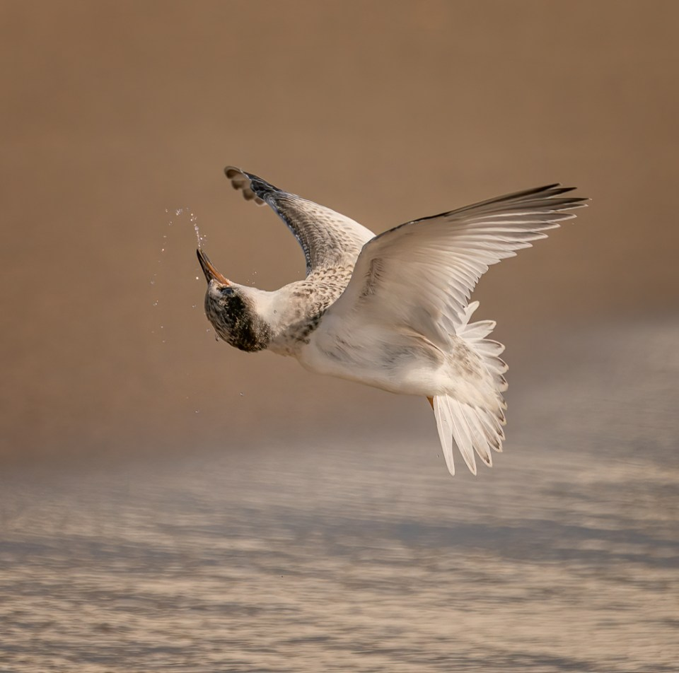 Least Tern Fledgling in Flight, image by Michael J. Cohen