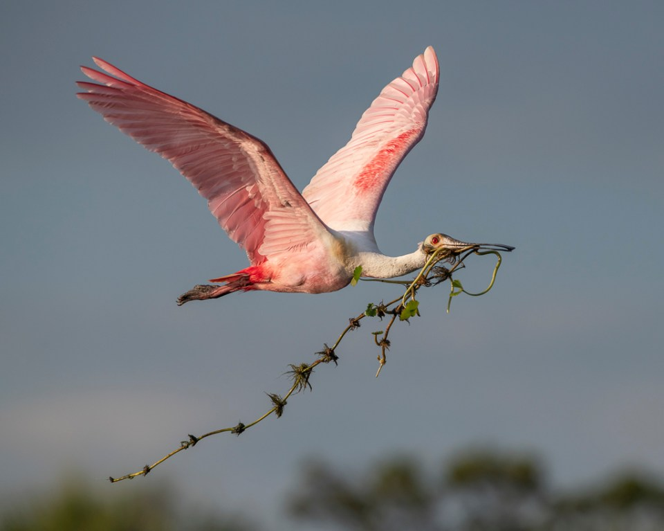 Roseate Spoonbill in Flight with Nesting Material, image by Peter Brannon