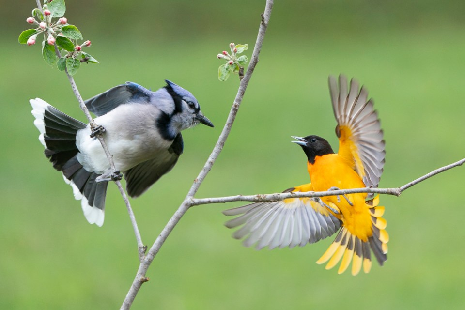 Bluejay and Baltimore Oriole Surprise Each Other, image by Sandra Rothenberg