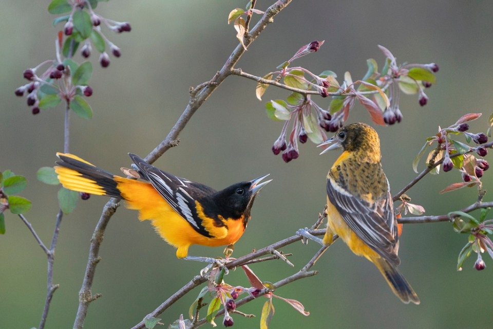 Two Male Baltimore Orioles Squabble, image by Sandra Rothenberg