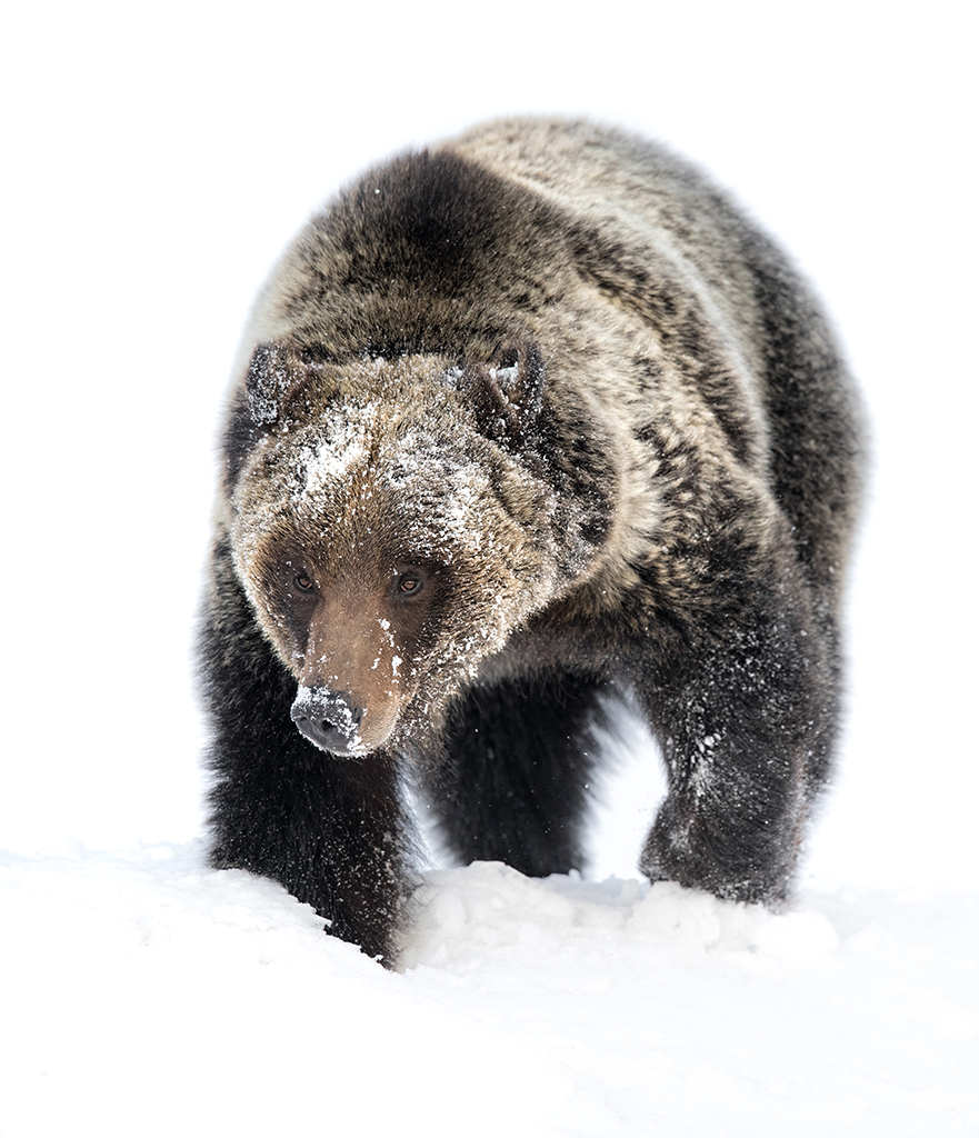 A Grizzly Sow Traveling through the Snow, image by Savannah Burgess