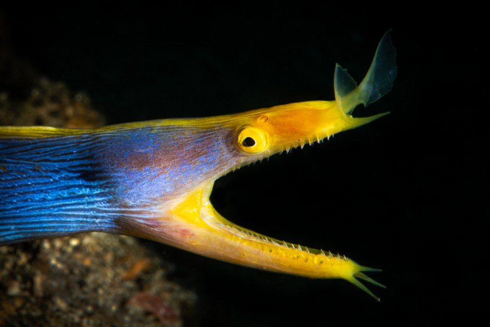 Blue Ribbon Eel, image by Tony Frank