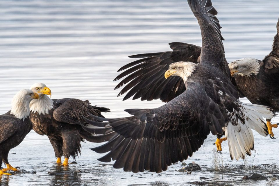 Two Eagles Fighting as Two Others Watch in Dismay © Debbie McCulliss
