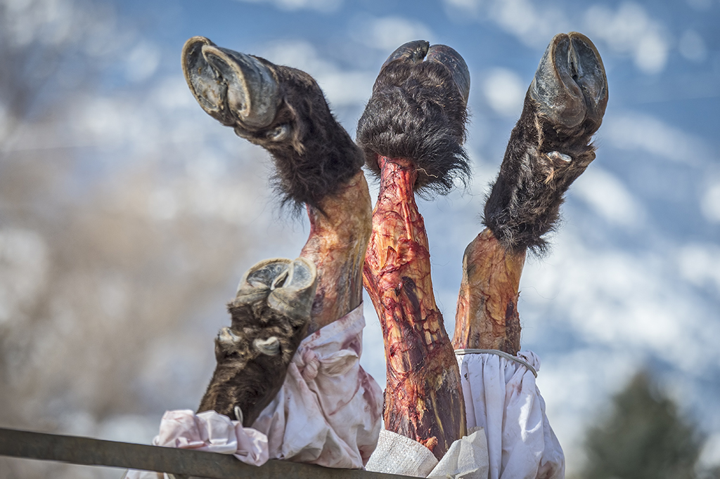 Processed Legs of a Bison Sit in a Cart after Being Slaughtered, image by Dawn Wilson Photography