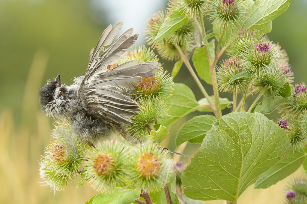 Black-Capped Chickadee Stuck in Burdock, image by Kyle Moon
