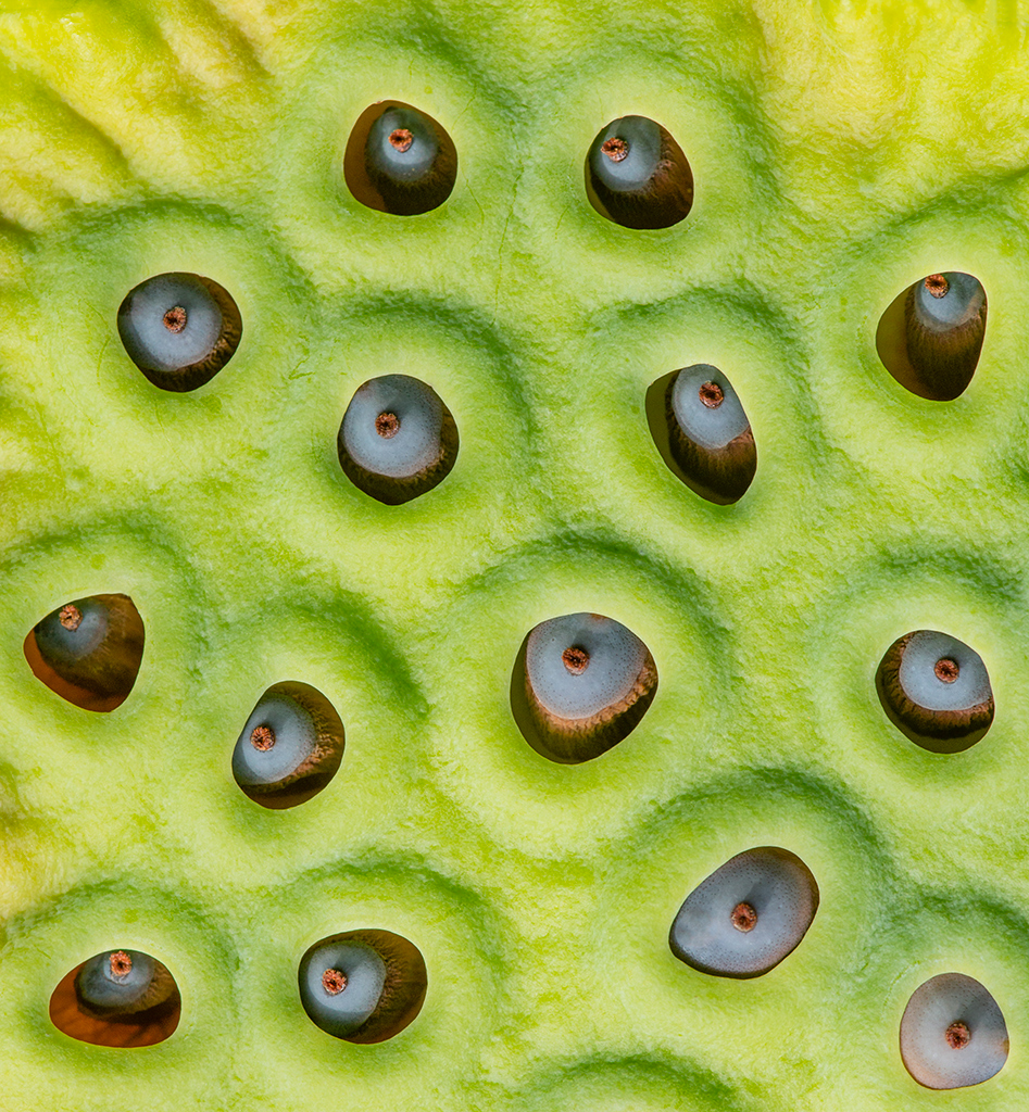 Lotus Blossom Seed Pod Resembles an Alien Landscape, image by Mary Louise Ravese