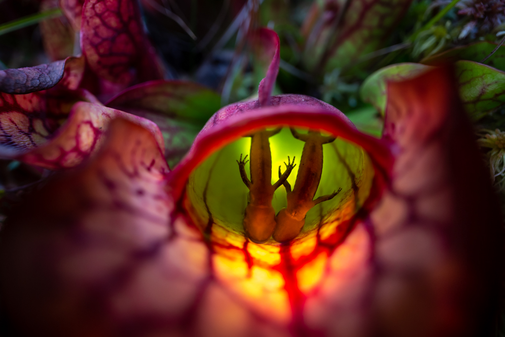 Carnivorous Northern Pitcher Plant with Captured Juvenile Spotted Salamanders, image by Samantha Stephens