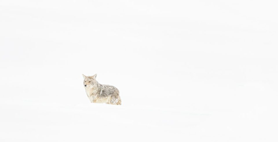 Coyote Out and About in a Snowstorm © Debbie McCulliss