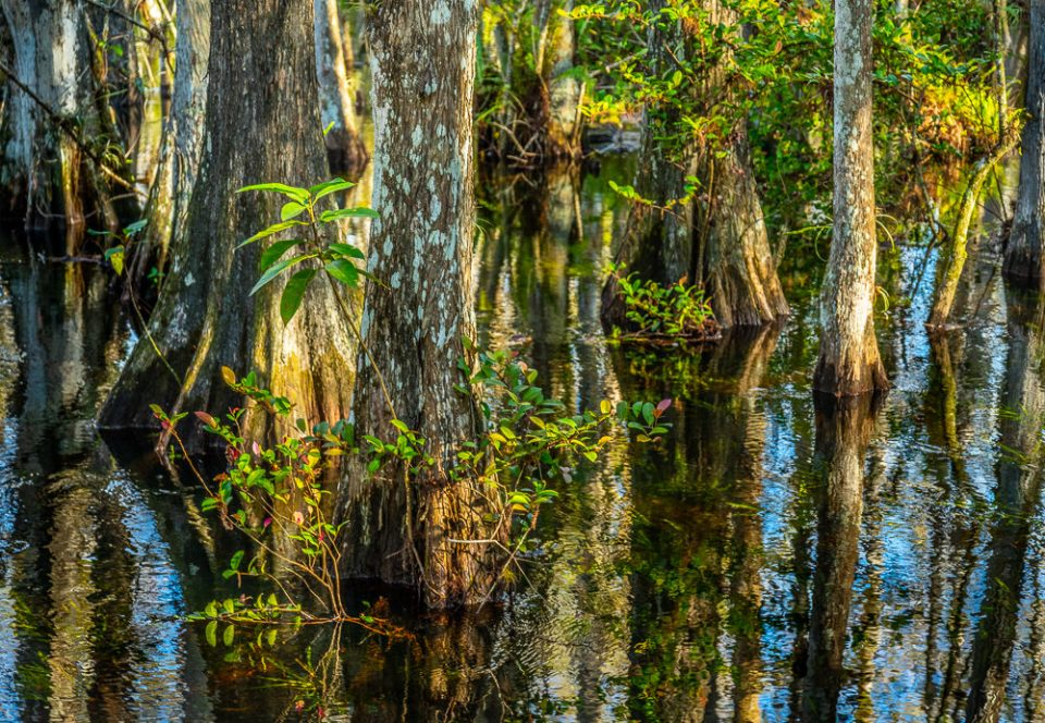 Cypress trees in the Sweetwater Strand, Big Cypress National Preserve, Florida.