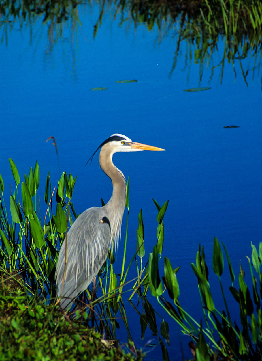Great blue heron contemplating his next meal.