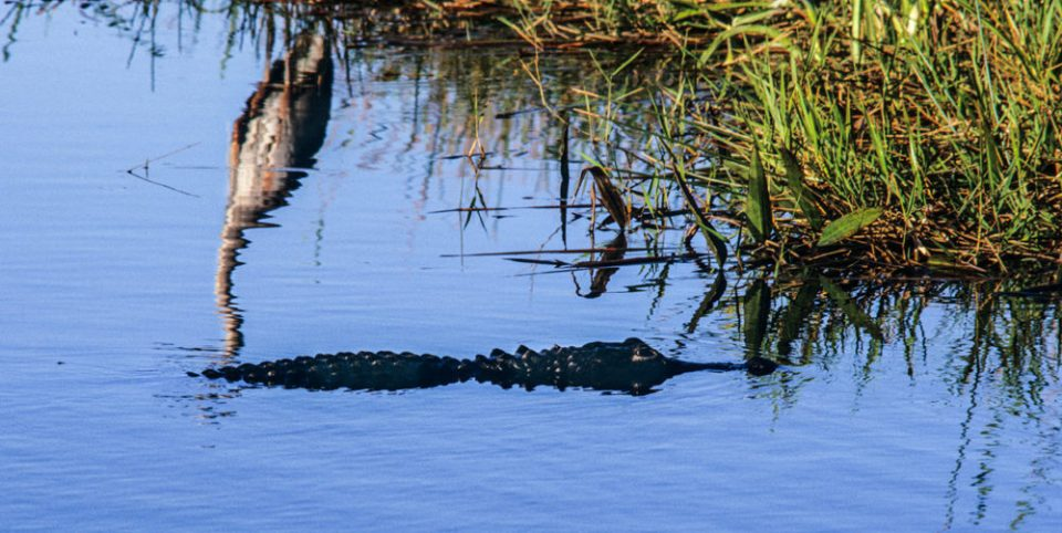 An American alligator glides un-noticed by a great blue heron.