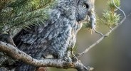 A Great Grey Owl with a dinner of a vole held in it's beak, perched on a tree limb. © Ann Kramer
