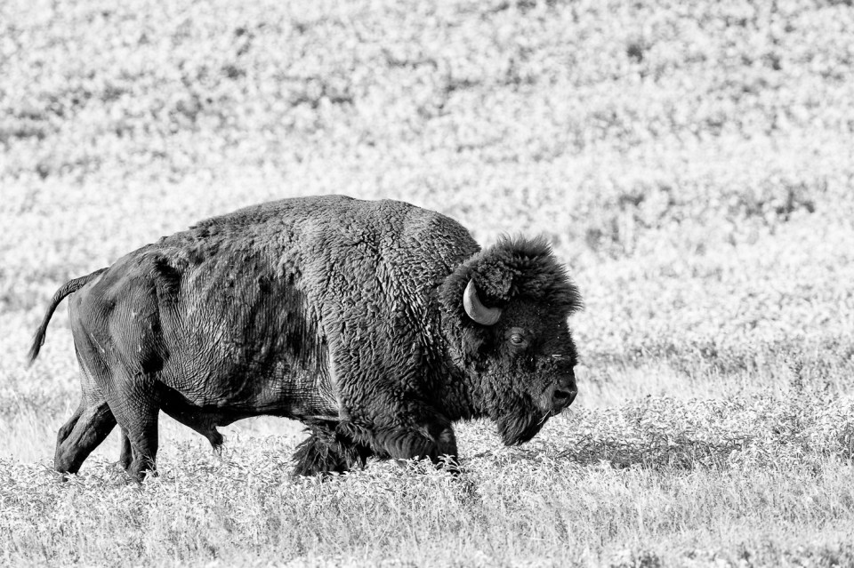 American Bison by Lee Hoy