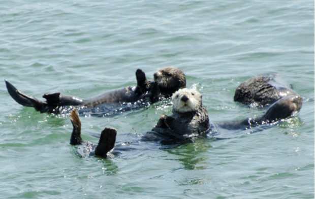 A raft of sea otters floating off the California shore. © Frank Toller