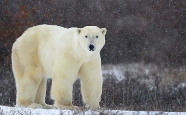 Polar bear in the Canadian Arctic, near Churchill, Manitoba. (c) Jim Clark