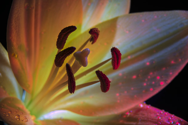 Backlit lily (Liliaceae) In studio New York, NY