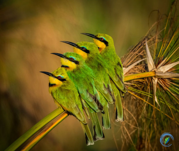 """""""Bee Eaters snuggling on a cold morning, Chobe National Park, Botswana"""" © Deborah Seibly"""