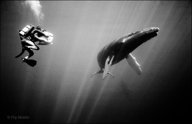 Diver filming Humpback Whale, Hawaii. © Flip Nicklin