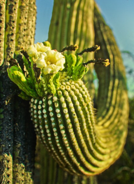 Giant saguaro flower in mid-late spring in Saguaro National Park near Tucson, AZ