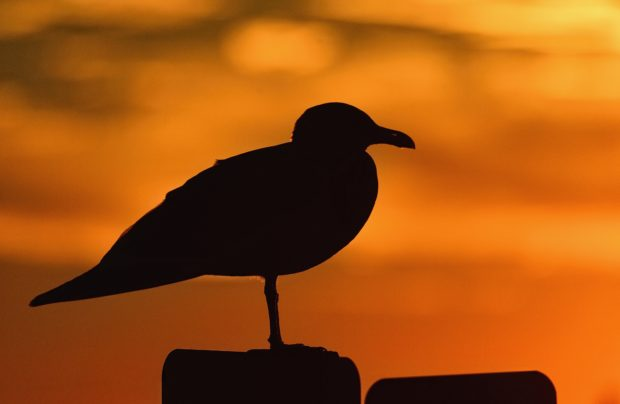 Herring gull at sunset at Assateague Island National Seashore, Virginia.   © Jim Clark