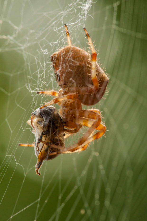 Orb weaver spider with prey, Jefferson County, CO. Image © Gordon and Cathy Illg