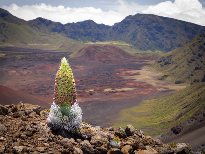 Moloka'i Island's northern coast is The Haleakalā silversword (Argyroxiphium andwicense subspecies Macrocephalum), is found only on the alpine rim of one of the world's most massive volcanoes. This plant is not yet documented as a Philodoria host, but several close relatives in this iconic Hawaiian plant lineage are. Because of the Haleakalā silversword's close relationship to known hosts, it is possible that a new, undocumented Philodoria species may live only on this plant. Predictions like this drive the project's search for undescribed Philodoria species in new habitats and on new host plants.