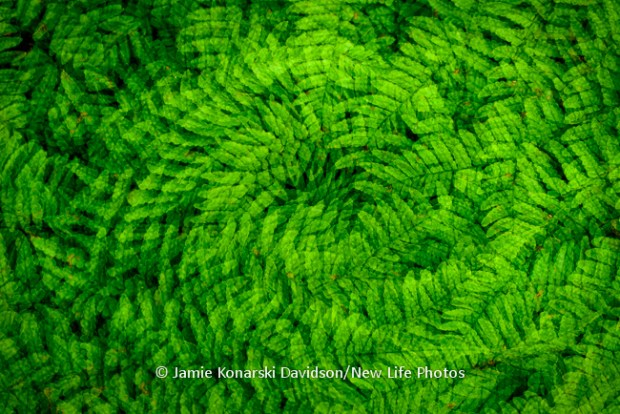 Ferns - Multiple exposure with spin to highlight patterns and texture.