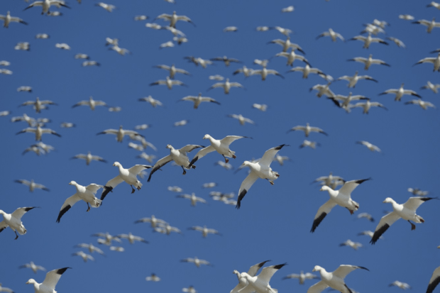 Snow geese overhead at Assateague Island National Seashore, Virginia. © Jim Clark