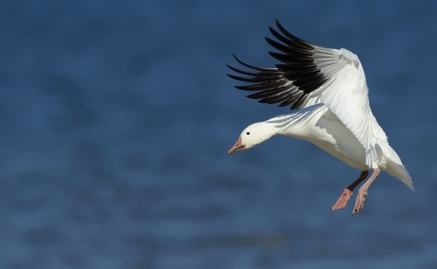 Snow goose landing on beach at Assateague Island National Seashore, Virginia. © Jim Clark