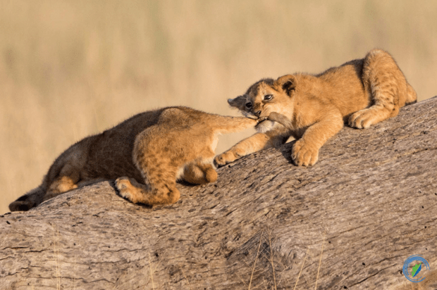 Lion cubs playing, Serengeti, Tanzania © Karen Hunt