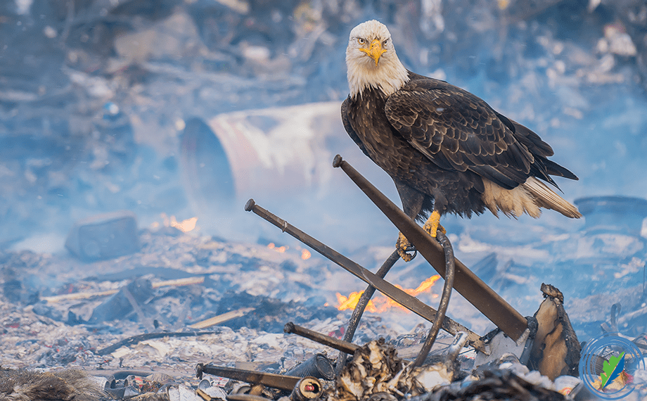 A bald eagle in small community burning trash pit, Adak, Aleutian Islands, Alaska © Mark Kelley