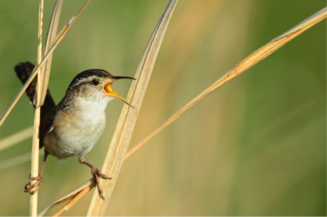 Marsh wren, Fishing Bay Wildlife Management Area, Maryland. ©Jim Clark