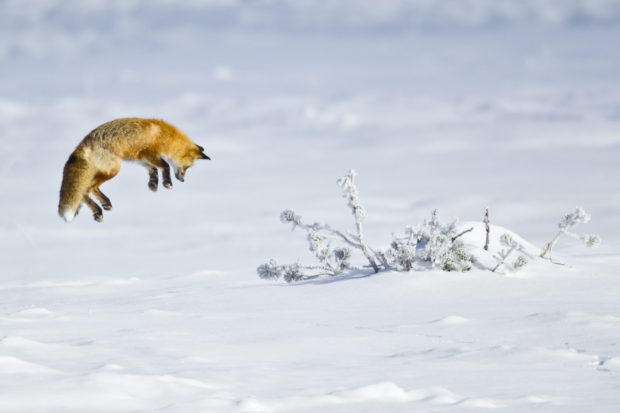 Red Fox (Vulpes fulva) © D. Robert Franz