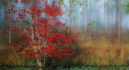 Photo of Red Maple in Autumn in South Carolina © jon holloway