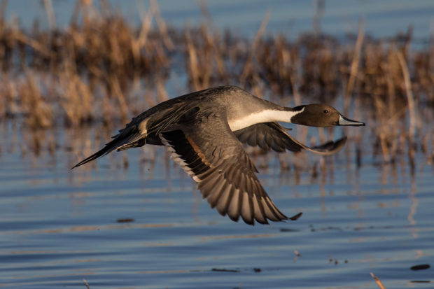 Northern Pintail 111916j