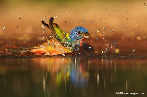 Painted bunting by Jeff Parker