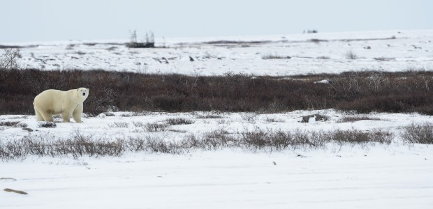 Polar bear along Hudson Bay, Churchill Wildlife Management Area in Manitoba. © Jim Clark