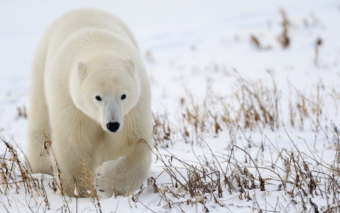 Polar bear, Churchill Wildlife Management Area, Manitoba. © Jim Clark
