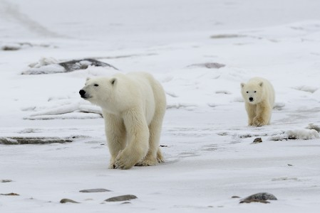 Polar bear sow and cub, Churchill Wildlife Management Area, Manitoba. © Jim Clark