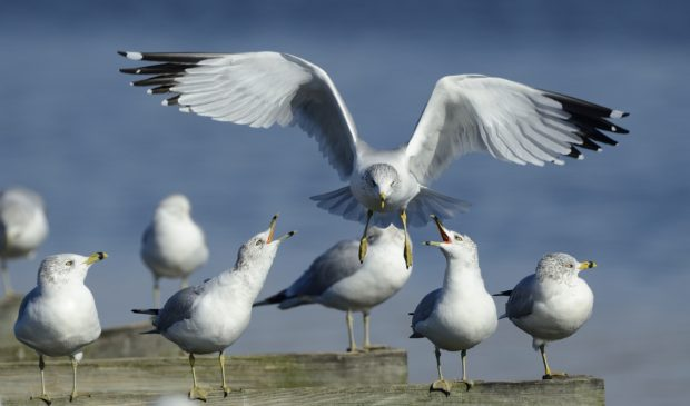 No, not sea gulls, but a flock of ring-billed gulls in winter at Blackwater National Wildlife Refuge, Maryland. © Jim Clark