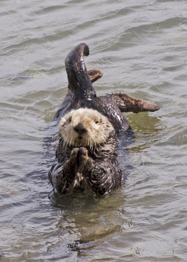 The sea otter population has risen from 1,000 to 2,000 years ago to 100,000 now. © Frank Toller