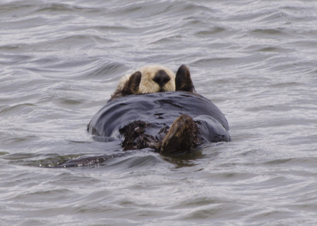 Sea otters are unique among mammals as tool users. © Frank Toller